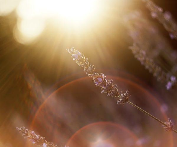 Sunny lavender flower in summer